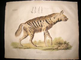 Goldfuss C1830 LG Folio Hand Colored Print. Hyena